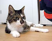 浅生ハルミンさんの愛猫「トーちゃん」、12歳、オス。ハルミンさんが落ち込んだ時、顔をなめてくれるやさしい猫。ハルミンさんの絵本『キッキとトーちゃんふねをつくる』のモデルにもなりました。