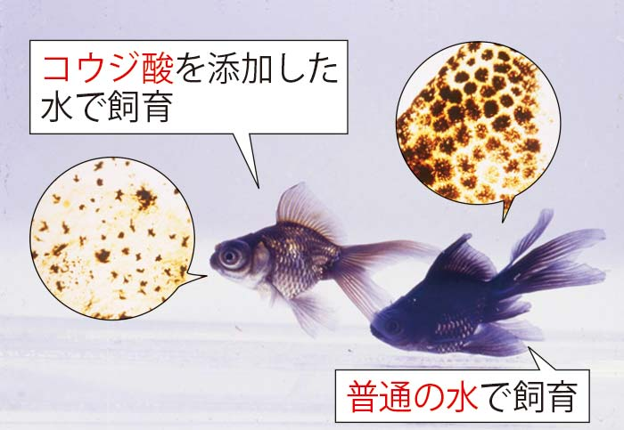 左の色が薄くなった金魚も、もとは右と同じ黒い金魚だった。色が薄くなった金魚は普通の水で飼育すると再び黒に戻る。コウジ酸の美白効果と可逆性(安全性)を証明する実験。
