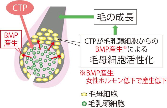 CTPは女性ホルモンの影響で低下したBMPの産生を高め、毛母細胞を活性化する。その結果、年齢を重ねても、太く、しっかりとした髪を育むことができる。