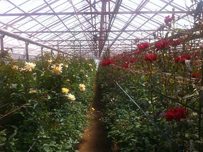 静岡・三島で、オリジナルのバラの種を数多く生産する〈市川バラ園〉を訪ねて。