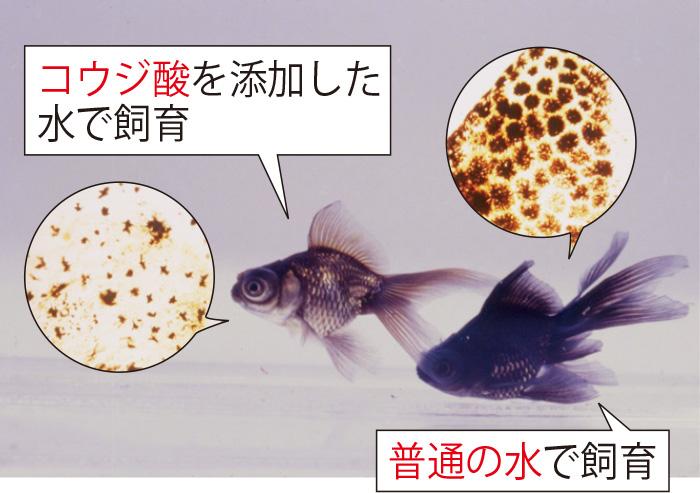 コウジ酸を添加した水で2カ月飼育した黒出目金は色が薄くなる。その後、普通の水に戻すとまた黒に戻る。その間金魚はずっと元気。コウジ酸の美白力と安全性を確認した実験。 (三省製薬調べ)