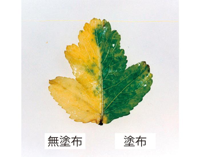 大根の葉の半分にCTPを塗布。塗布した部分のみ、長い間にわたり青々としていた。CTPの細胞死を抑制する作用を証明した実験。(三省製薬調べ)
