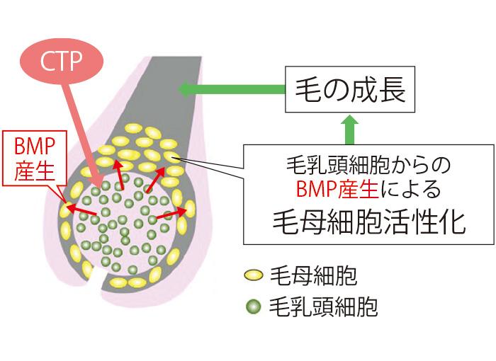育毛成分CTPは育毛のシグナルであるBMPの産生を高め、毛母細胞の活性化を促す。そのことにより、太く、しっかりとした髪が育まれる。