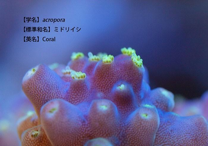 【UOCOLO 旬のさかな、地のさかな図鑑】わくわくサンゴ石垣島(2)
