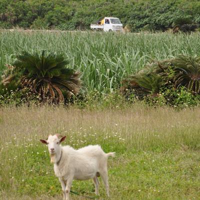 """ちょっと""""横道""""にそれるとヤギが。島の至る所に放し飼いになっている。"""