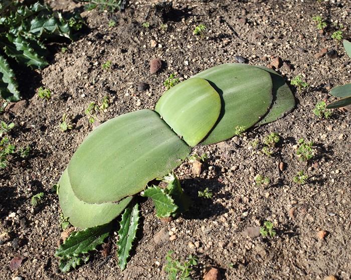 誌面で紹介しきれなかった、南アフリカで見つけた謎の植物をここでひとつ。ハエマンサスみたいな地面を這う葉だけど、何枚も葉が重なってる。これって一体ナニ!? 自生地では、そんなドキドキの発見の連続でした。