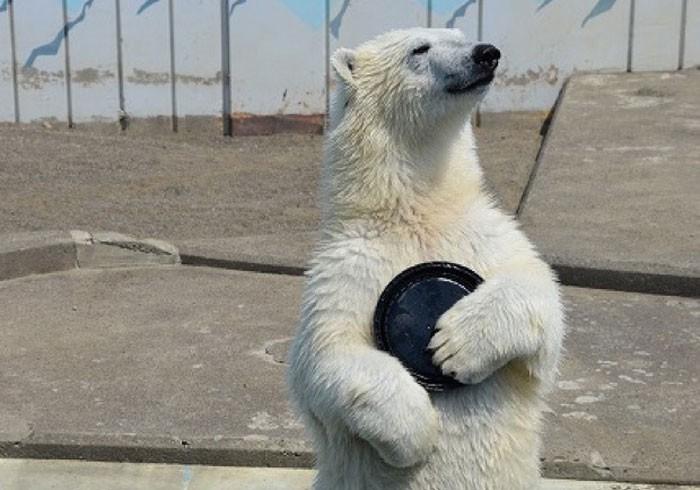 釧路市動物園のおちゃめなしろくま「ミルク」の写真集発売!