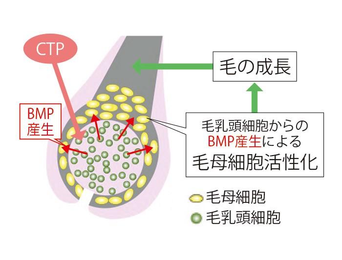 育毛成分CTPは育毛のシグナルであるBMPの産生を高め、毛母細胞の活性化を促す。そのことで、太く、しっかりとした髪が育まれる。