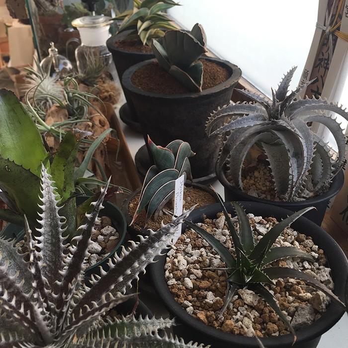 家の窓辺は変な植物でいっぱい。このあとドイツのナーサリーからデカいダンボール1箱分の植物が届きました。