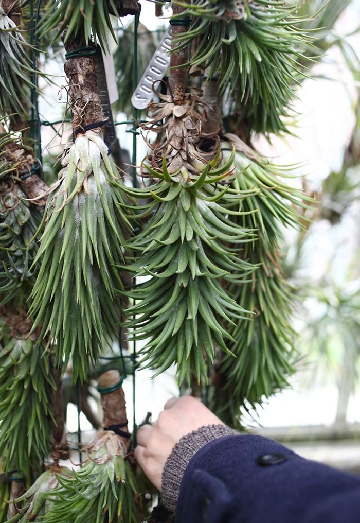種としては「ティランジア イオナンタ」なのだが、その様々な系統違いを徹底して収集していたコレクターの温室。ステムが長く伸びるものなど、パッと見、とてもイオナンタにはとても見えない個体も多くあった。