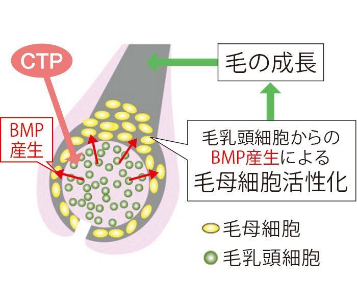 育毛成分CTPは育毛シグナルであるBM Pの産生を高め、毛母細胞の活性化を促す。そのことで、太く、しっかりとした髪が育まれる。