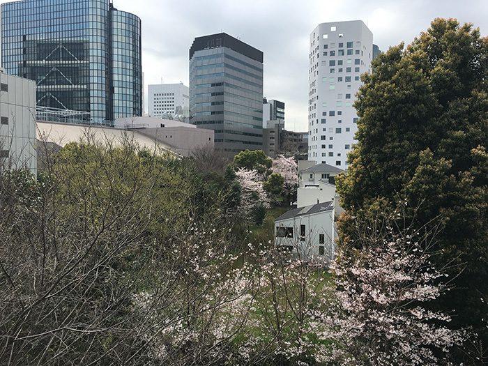 ハルウララ、桜満開中での撮影。がんちゃんは緑と太陽がよく似合ってました。