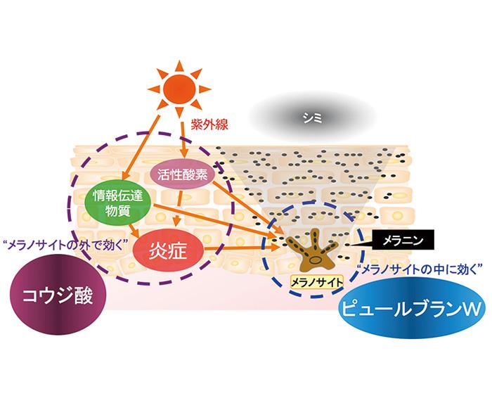 コウジ酸は、シミのもとのメラニンをつくるメラノサイトの外で活性酸素や情報伝達物質、炎症の発生を防ぎ、ピュールブランWはメラノサイトの中でメラニン生成を阻止する。