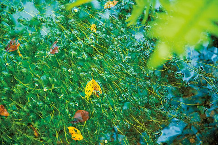 #地蔵川 #梅花藻