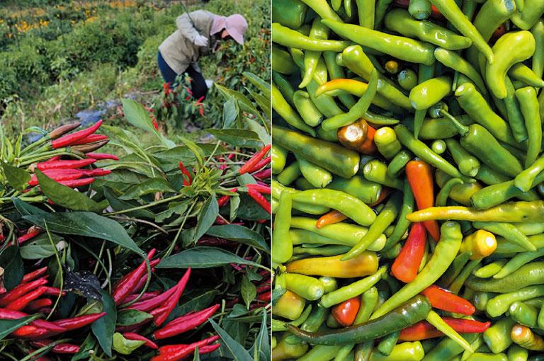 1.唐辛子を栽培する。