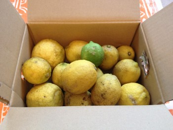 塩レモン人気か、売り切れ続出中の無農薬レモン。なんとか探し出した訳ありレモン。不揃いで見た目はシミなどがあるが、鮮度は十分。